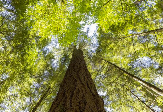 all about cedarwood oil