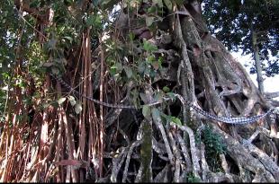 the sacred banyan tree